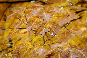 An epigenetic protein called HDAC jumpstarts the process of aging, which is responsible for the many-colored leaves of the fall season, according to new research from UW–Madison.