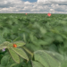 An asian lady beetle rests on a plant in a soybean field in this time-exposure image. New research suggests that diminishing wind speeds caused by climate change affects the ability of such insects to capture prey. Photo: Brandon Barton