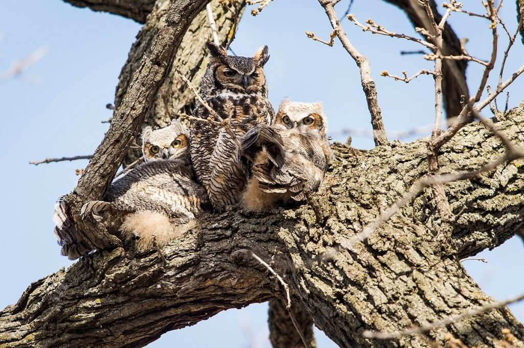 Safe and sound: Owlets nestle in the crook of a tree branch and bask in the sun with an adult great horned owl near the Temin Lakeshore Path on an April day.