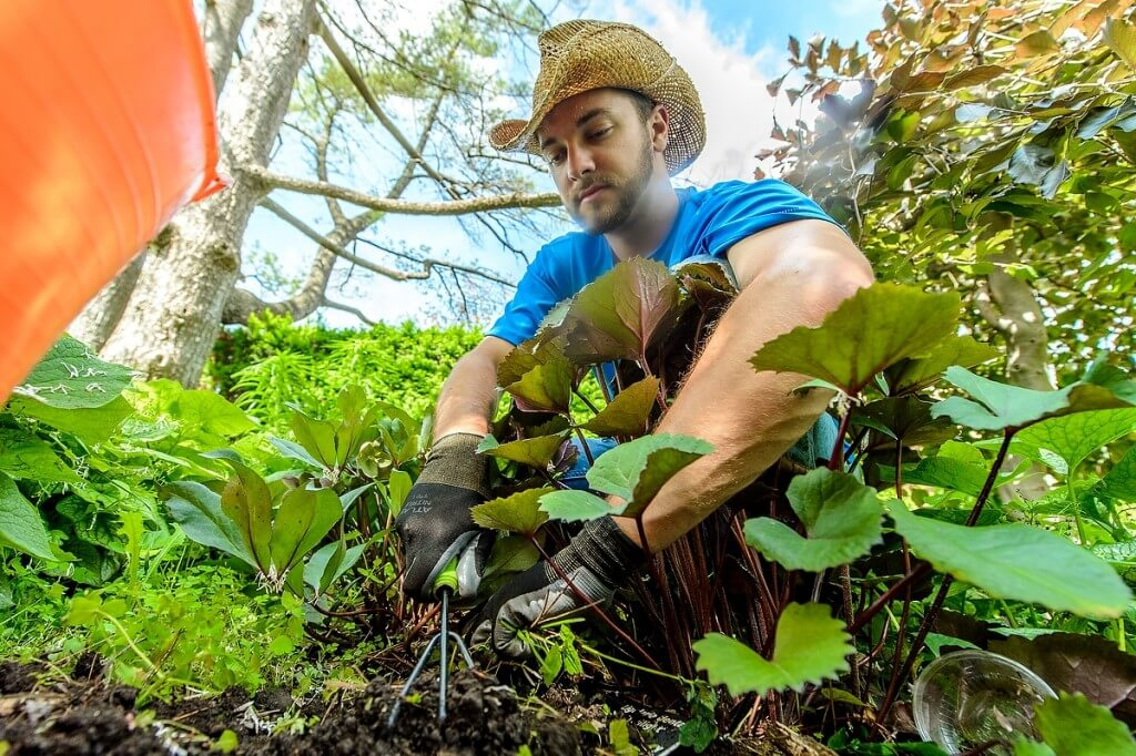 With a weed-free goal in mind, Ben Futa, curator at the Allen Centennial Gardens, uses a handheld cultivator on a sunny June day.