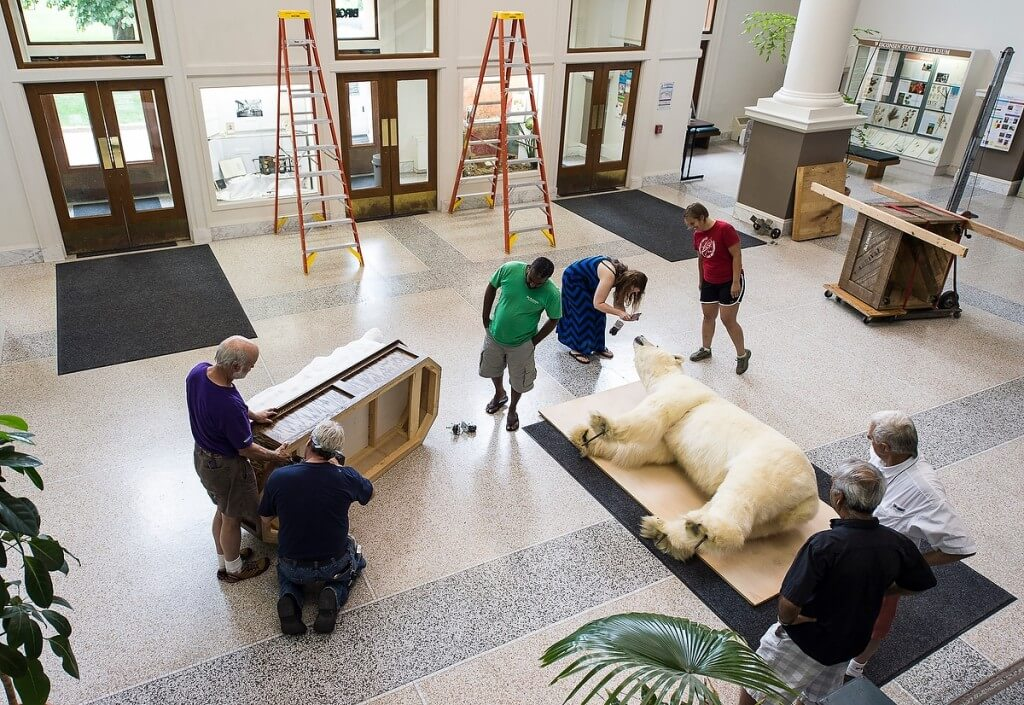 Speaking of the unexpected, a polar bear taxidermy specimen, donated to the Zoological Museum, is readied for its permanent home atop the foyer entrance of Birge Hall.