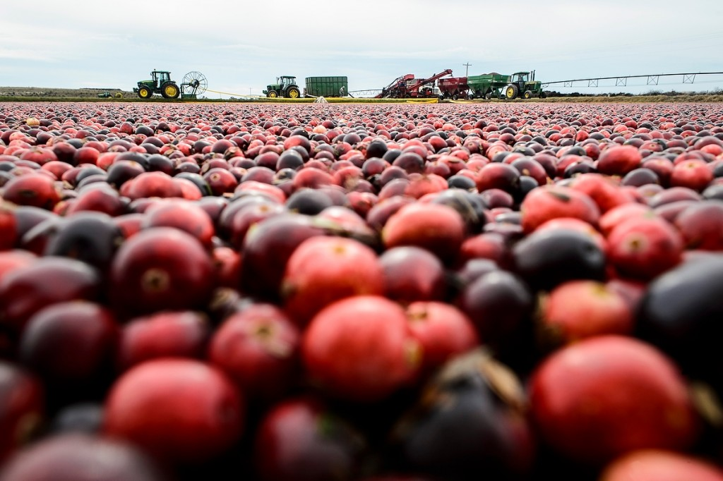 A sea — or, technically, a marsh — of red forms as cranberries are harvested near a Necedah, Wisconsin, farm that grows several varieties bred at the UW and licensed by the Wisconsin Alumni Research Foundation.