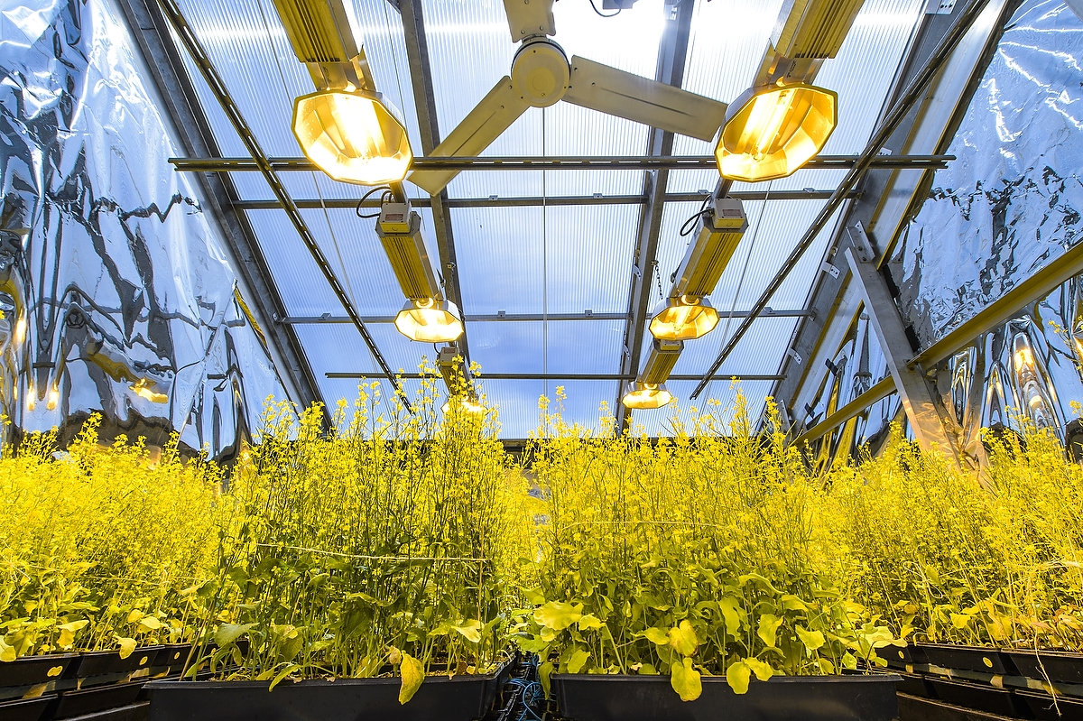 Flats of the rapid-cycling Brassica plant are housed in a greenhouse of the Wisconsin Fast Plants Program in the Biotron Laboratory at the University of Wisconsin–Madison. The seeds from these plants are distributed to researchers around the world.