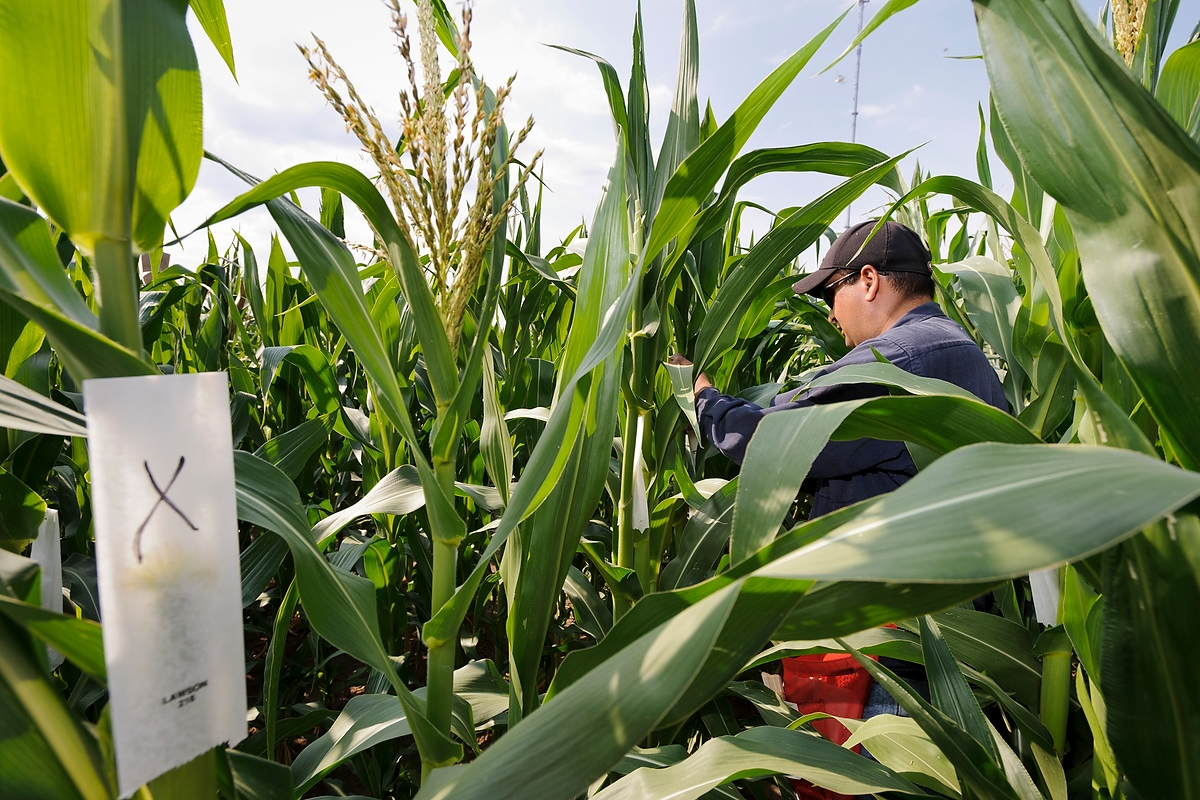 UW-Madison researchers study the genetic traits of the corn plant for potential use as biomass fuel.