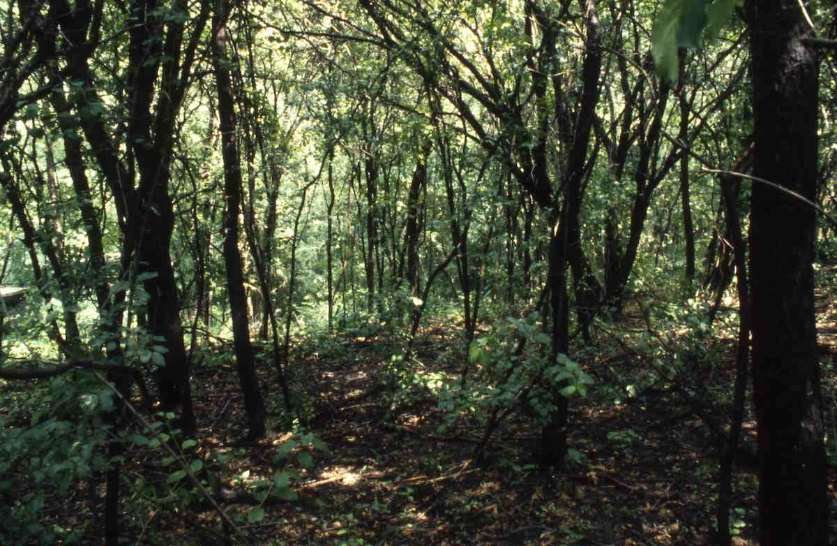 A Southern Wisconsin woods being strangled by buckthorn, a tree that was sold in nurseries and started to invade the region over the past half-century. As buckthorn excludes all other vegetation, this site that was formerly dominated by oak shows some of the ways that human activity has changed the relationship among species.