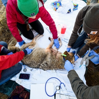The group of student veterinarians from UW–Madison help draw a blood sample.