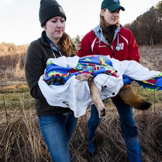 School of Veterinary Medicine students Miranda Torkelson, left, and Holly Hovanec relocate a coyote.