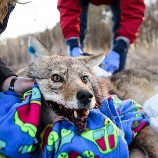 The 36-pound coyote opens his eyes after being caught, sedated and tested.