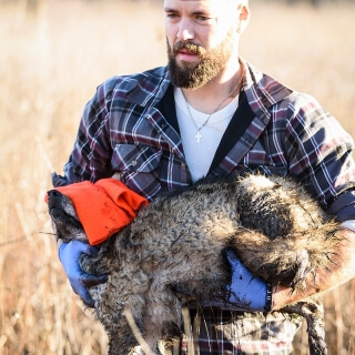 Graduate student Marcus Mueller carries a coyote to the research site.