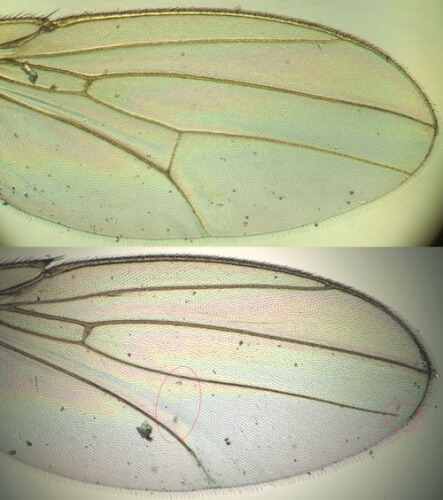 A comparison of normal (top) and disrupted wing development (bottom) shows a missing vein (red circle).