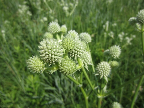 Rattlesnake Master growing in a prairie. Rattlesnake Master is a species characteristic of high-quality prairie remnants.