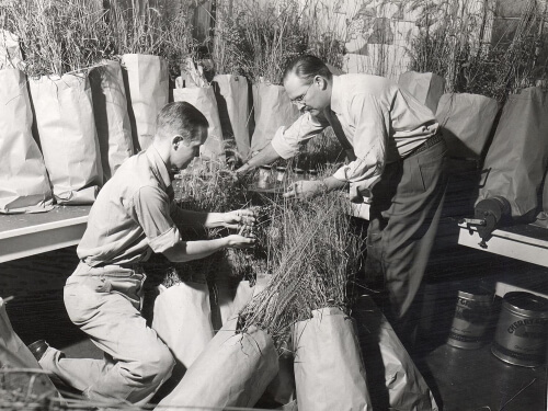 Botany professors John T. Curtis (right) and Dave Archbald work with paper bags of tall grasses in 1951.
