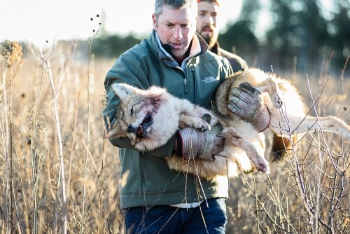 David Drake carries a sedated coyote caught at Curtis Prairie in the Arboretum as part of a research effort to study the behavior of growing fox and coyote populations in the city of Madison.