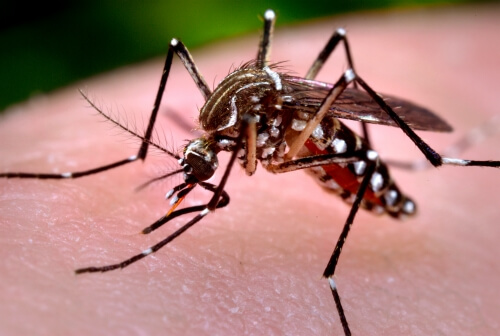 Zika virus is transmitted by a mosquito called Aedes aegypti.