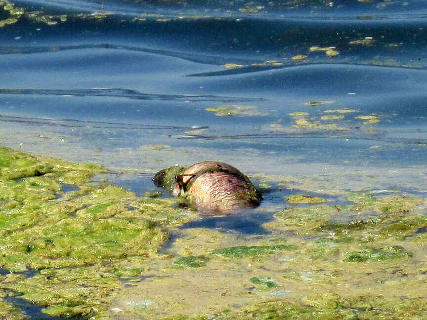 Since the spiny water flea's invasion, water quality in Lake Mendota has plummeted and algal blooms like the one pictured, are on the rise.