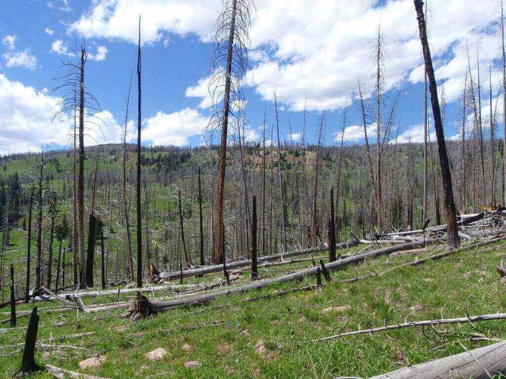 Very sparse post-fire tree regeneration following the Beaver Creek Fire (near Yellowstone National Park in 2000), which was followed by three years of severe drought. This photo was taken far from the edge of a stand-replacing burn patch – away from surviving seed sources.