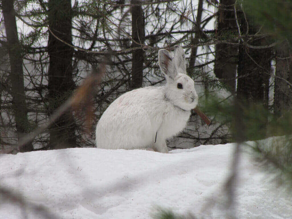 The snowshoe hare is an emblematic species of the north country, adapted to and dependent on a snowy climate. A recent study by UW–Madison researchers shows the southern boundary of the snowshoe hare's range shifting north as climate warms.