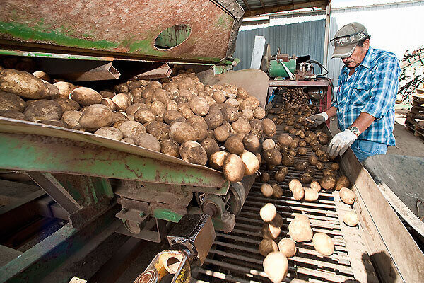 Workers at a potato farm near Coloma, Wisconsin, pick through harvested potatoes.