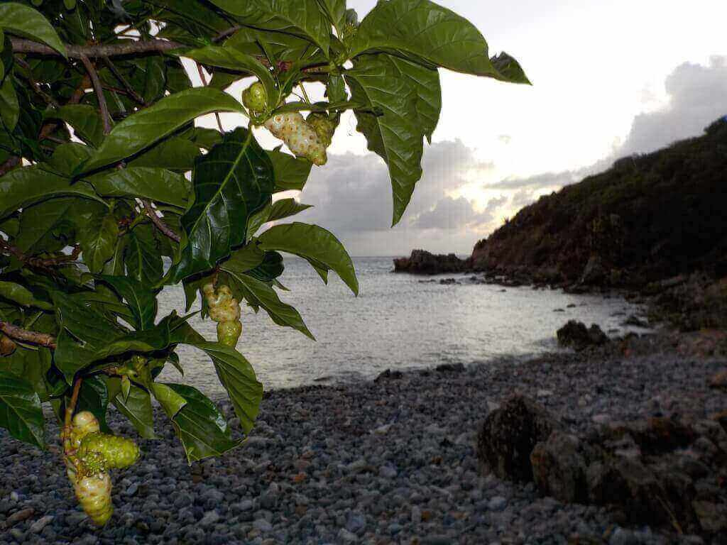 Photo: Noni tree