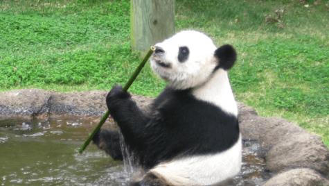 Photo: Panda eating stalk