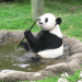 Photo: Panda eating stalk