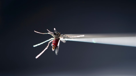 Photo: Closeup of Aedes aegypti mosquito