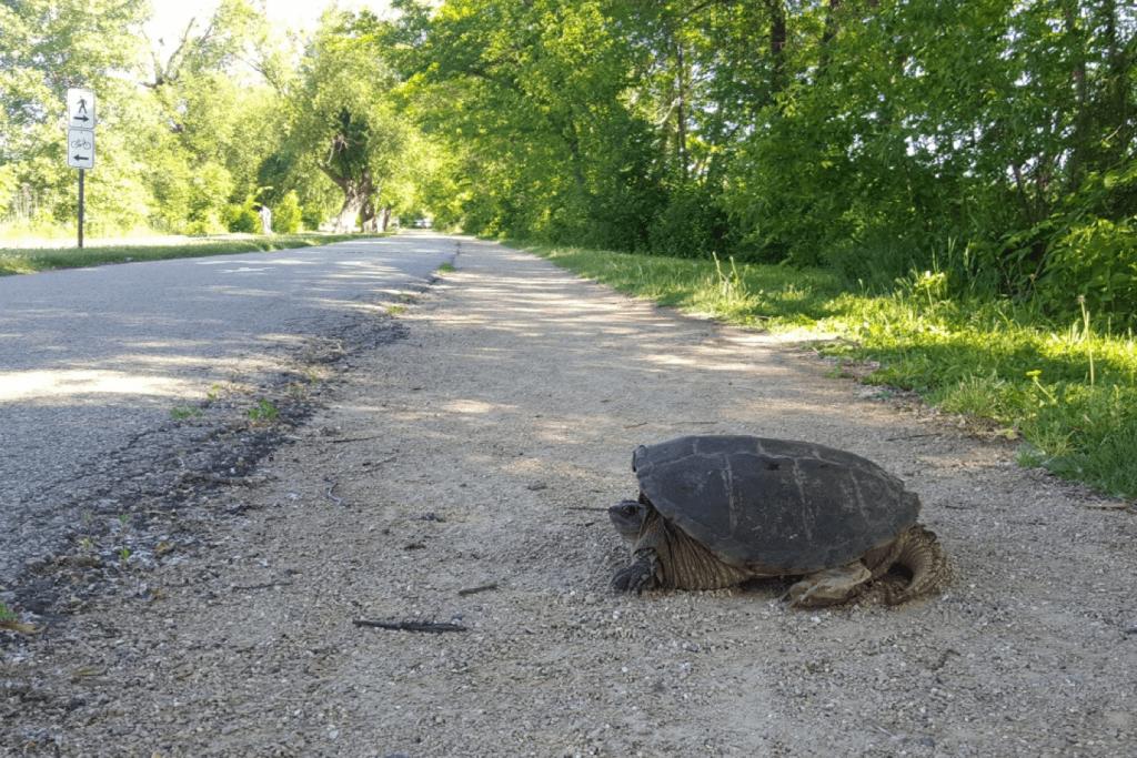 Photo: Turtle next to road