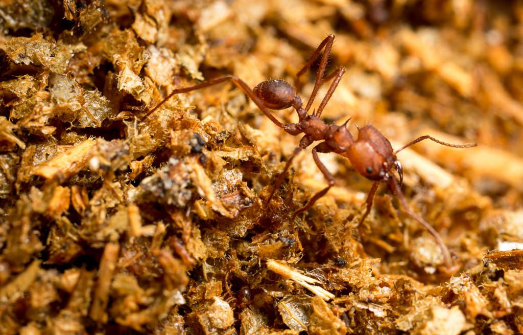 Photo: Leaf-cutter ant