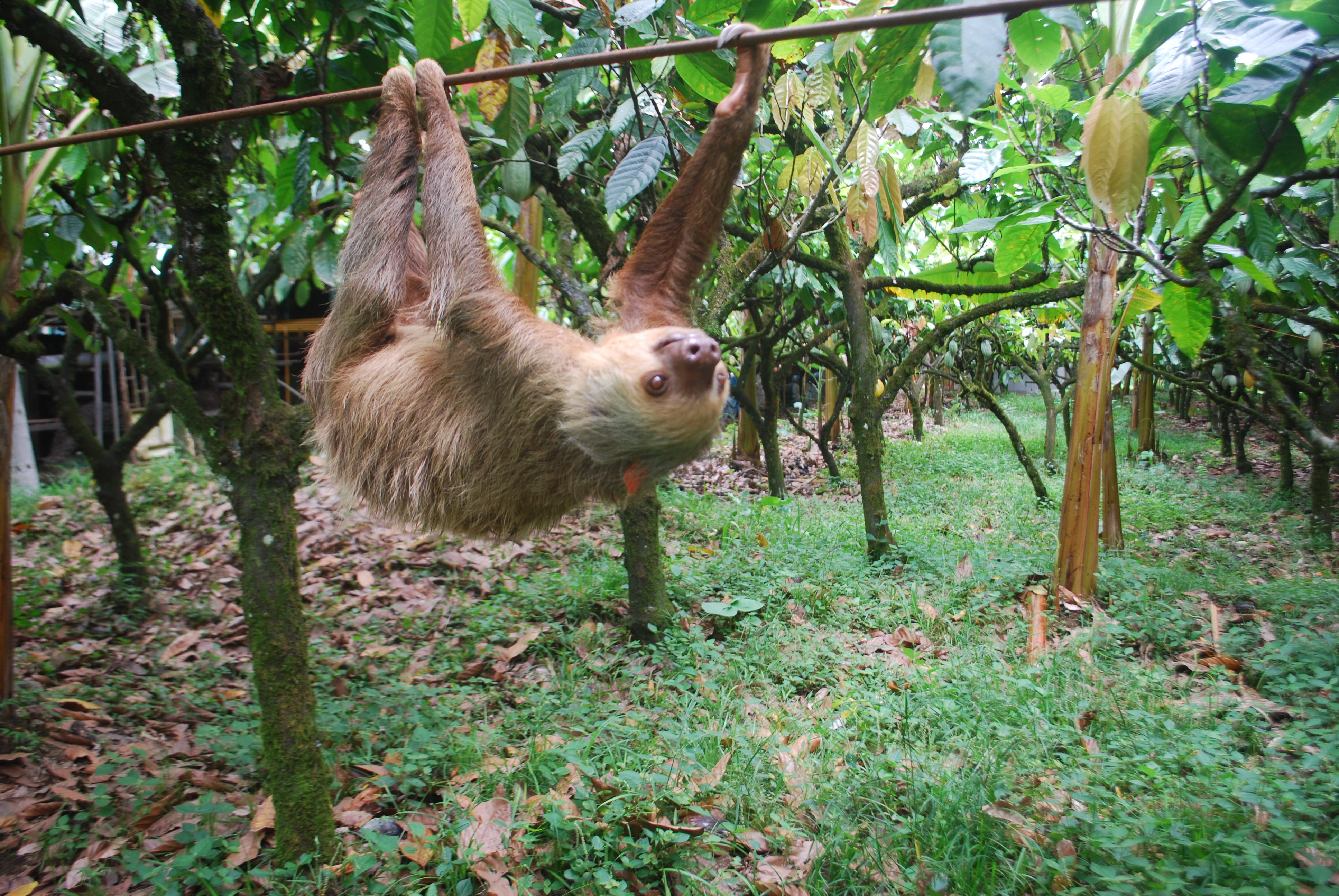 A two-toed sloth transits a plantation in northeastern Costa Rica using a cable ordinarily used to move cacao. A team of UW–Madison scientists recently found why sloths are such deliberate, slow-moving animals.