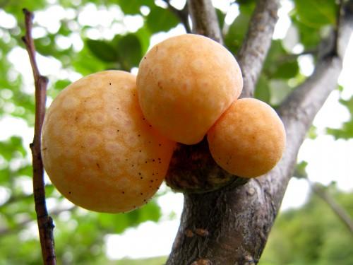 Photo: Galls on a beach tree