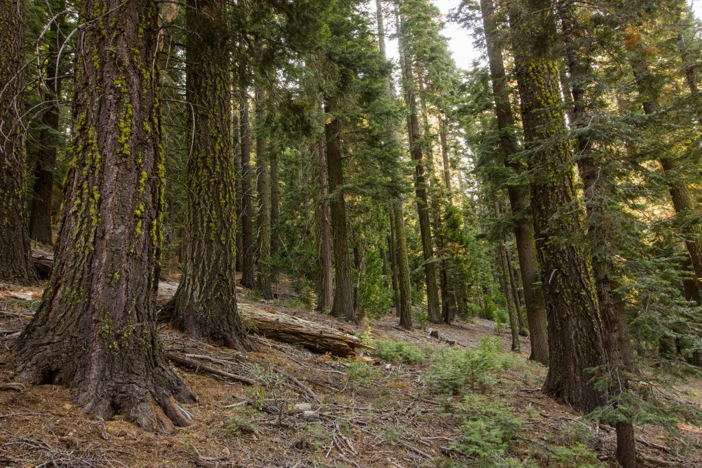 Photo: Forest with large trees