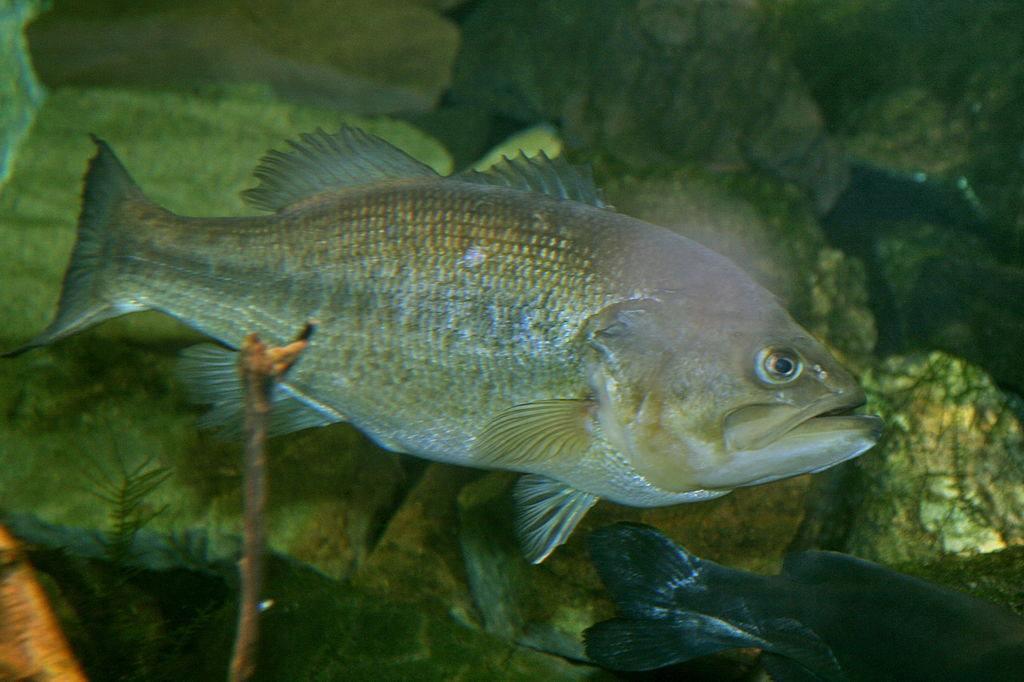 Photo: Largemouth bass