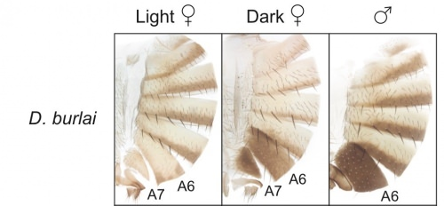 Separated sections from abdomen of Drosophila burlai show (from left) light female, dark female, and male. Notice the resemblance between the dark female and the male? In some conditions, there's an evolutionary advantage to being able to mask your sex. Numbers refer to section of abdomen.