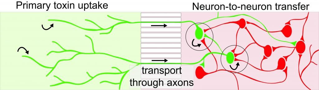 Graphic: Botulinum diagram