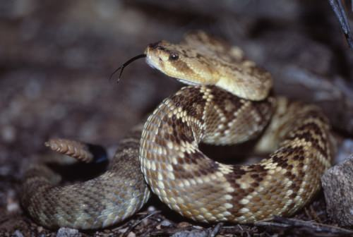 A black-tailed rattlesnake is seen in Arizona. Different species of snakes kept the genes for different types of toxins and shed others, new research shows.