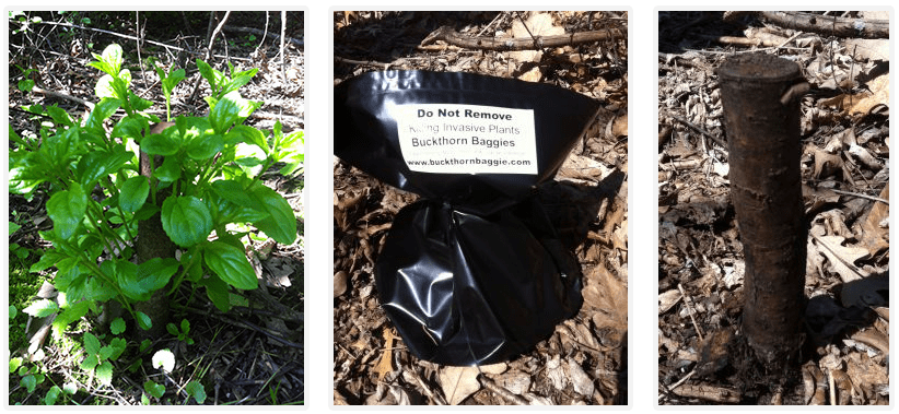 Photo: Buckthorn in baggie, and dead stump