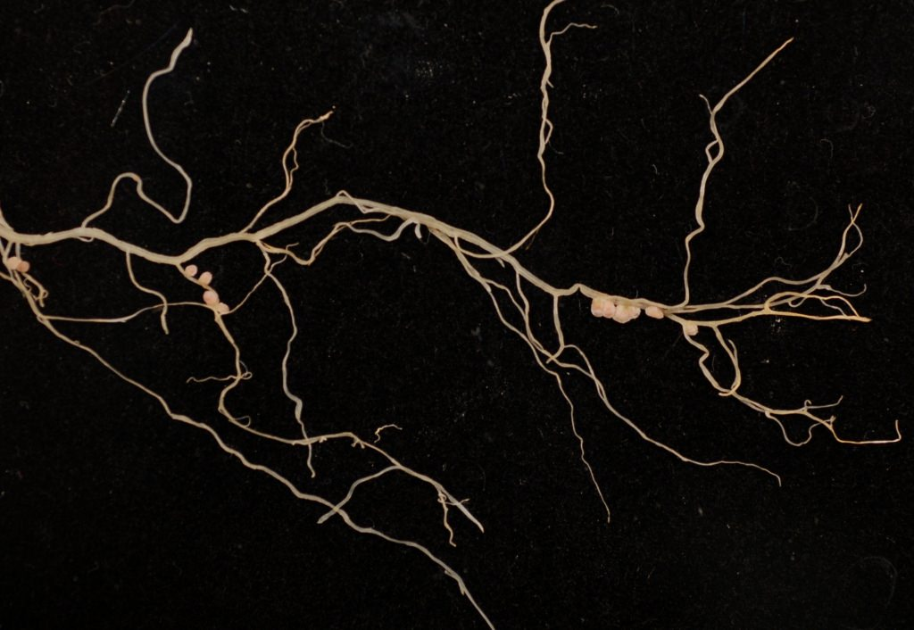 Photo: Nodules on the roots of the model legumeMedicago truncatula. The root nodules are where the process of nitrogen fixation takes place.