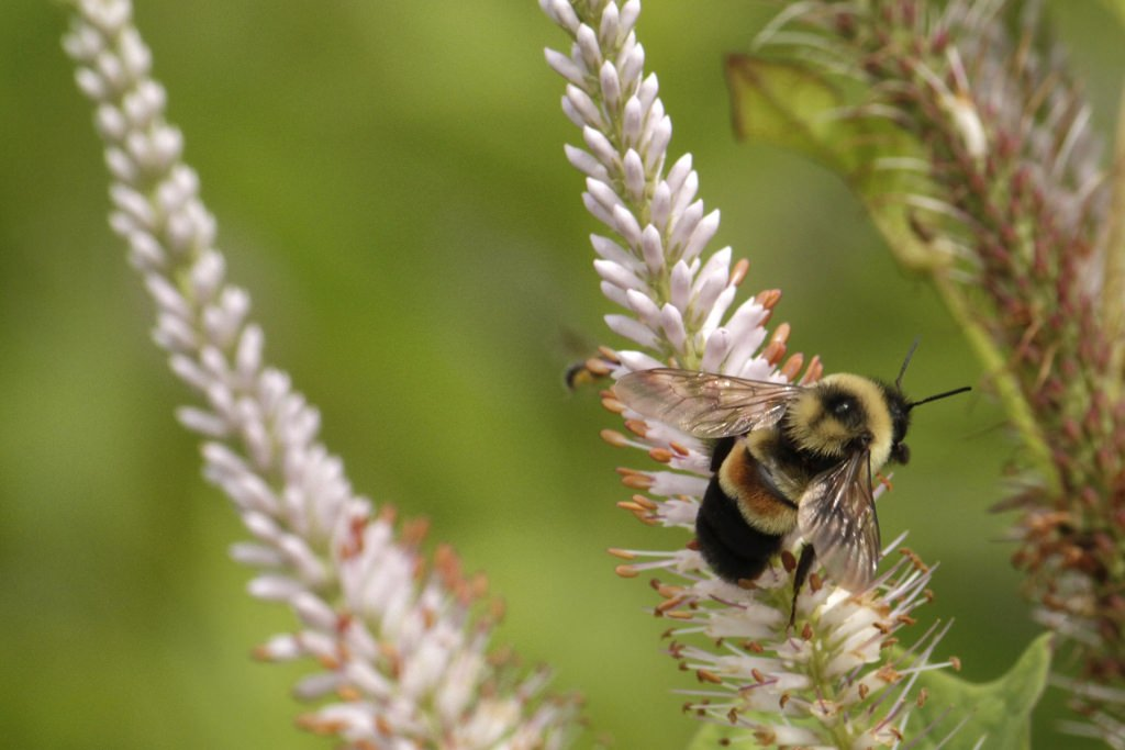 Photo: Rusty-patched bumblebee