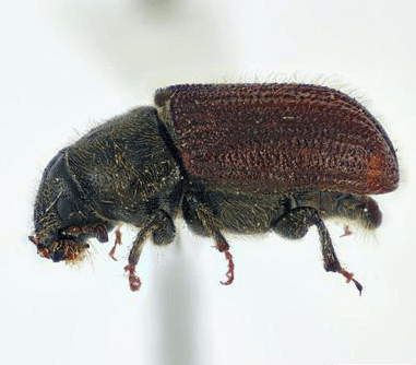 Photo: Douglas fir beetle
