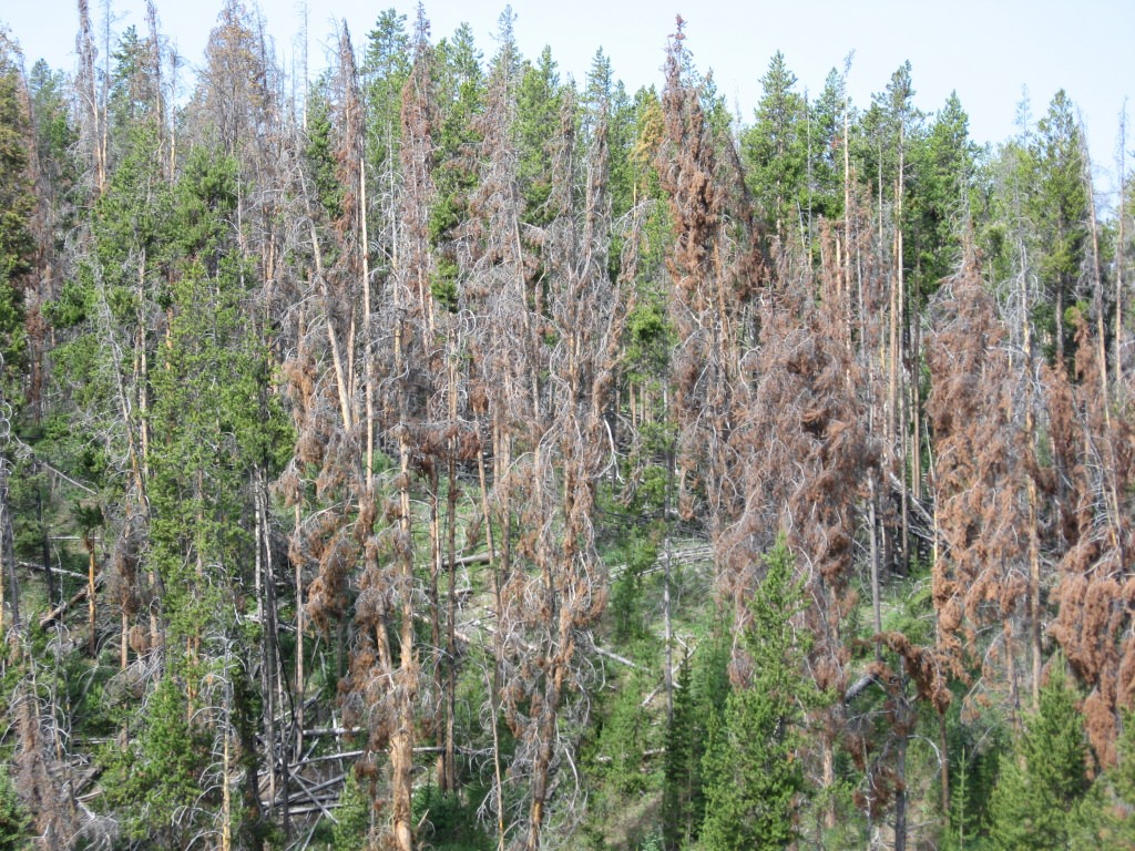 Photo: Lodgepole pine stand