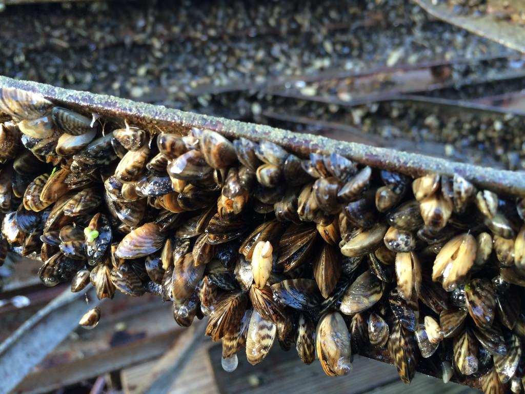 Zebra mussels encrust sections of the UW Hoofers sailing pier pulled out of Lake Mendota in early November.