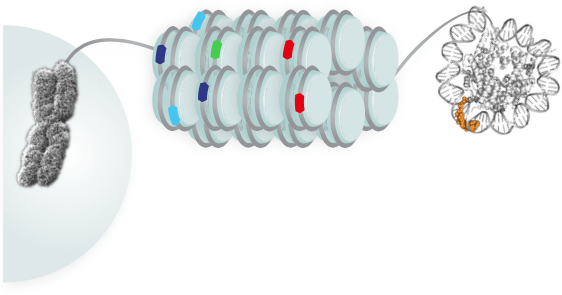 Photo: DNA in the nucleus is organized into chromosomes (left). That DNA is packaged up by winding around histones (middle), and small molecules called polyamides are able to bind to that DNA, unlike most natural cellular proteins. Some polyamides are hairpin-shaped (right) and are able to bind to the DNA strand like in the image. In this study, the locations of these binding sites were mapped for the first time in a cellular context.