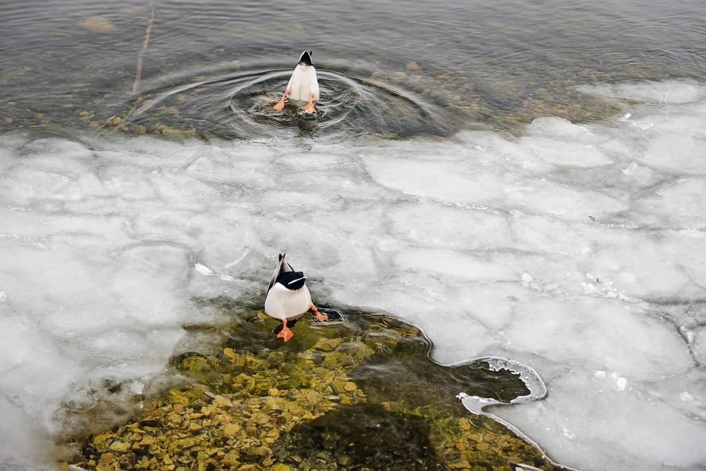 Photo: Ducks dunking heads in water