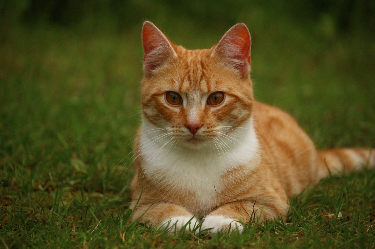 Photo: Red tabby cat