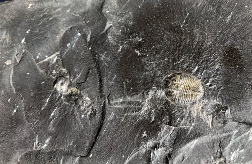 Photo: Fossil in black shale