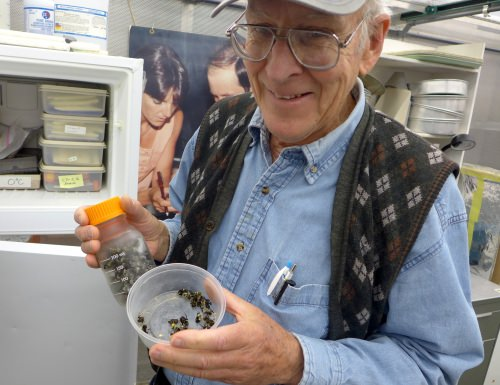 Paul Williams, founder of the Fast Plant program at UW–Madison, holds bumblebees that are used to pollenate the rapid-cycling Brassica plants.