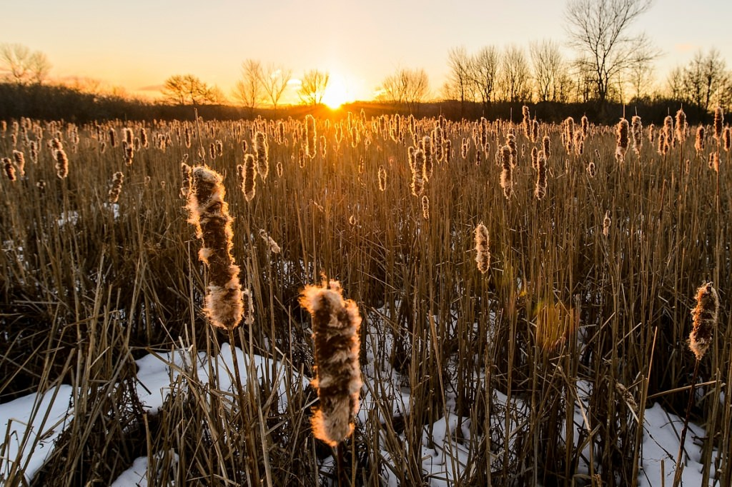 Winter-worn cattails are lit by the sunrise near Lake Wingra inside the UW Arboretum.