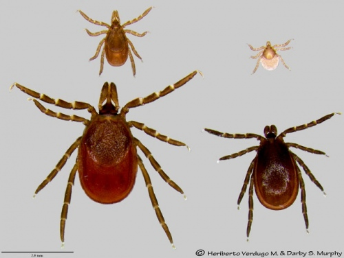 Life stages of the blacklegged or deer tick. Top row: nymph, larvae. Bottom row: female, male. The deer tick is one of the most important disease vectors in Wisconsin and will be under the microscope as a new center for vector borne disease takes shape at UW–Madison.