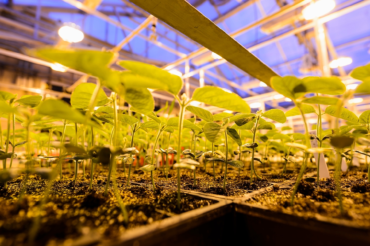 Potted soybean plants grow under greenhouse lights at the Wisconsin Crop Innovation Center (WCIC) at the University of Wisconsin–Madison on Jan. 23, 2017. The agricultural research facility is location in Middleton, Wis., just west of Madison. (Photo by Jeff Miller/UW-Madison)