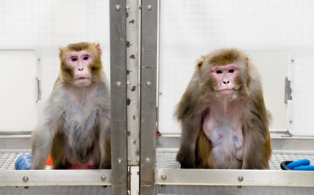 Photo: 2 Rhesus monkeys in cage
